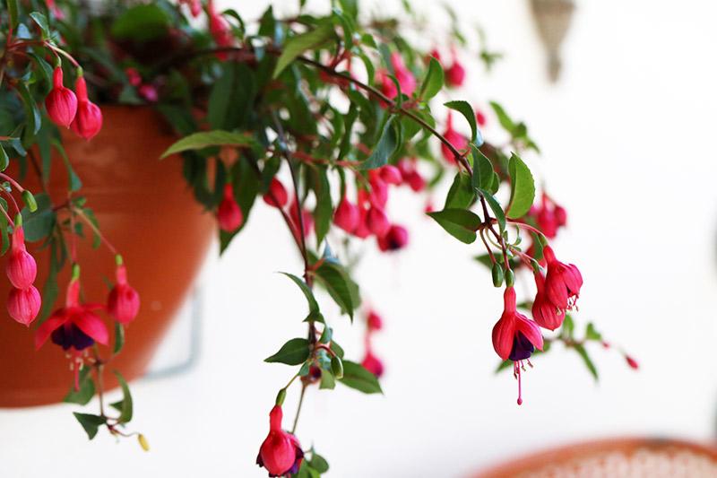 planta sapatinho de princesa