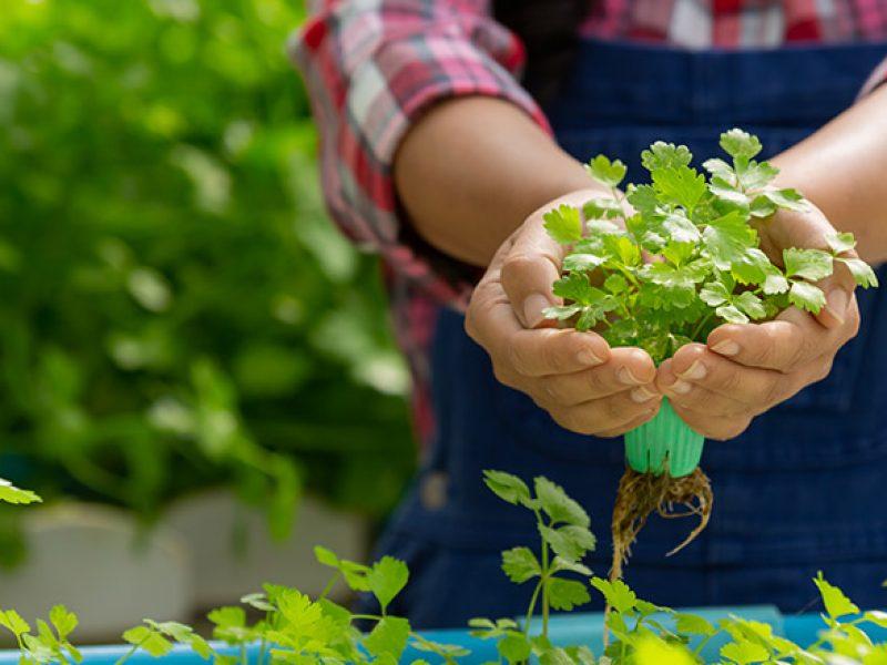 Horta caseira: dicas para cultivar temperos em casa